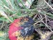 Schwarzrotgoldblatt